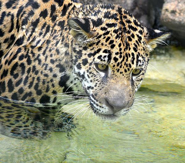 Richard Bryce and Family - Wet Baby Jaguar