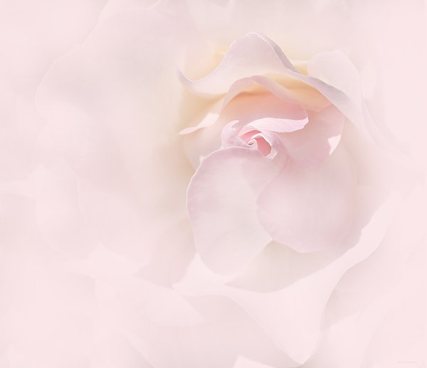 Jennie Marie Schell - Whispers of a Pink Rose