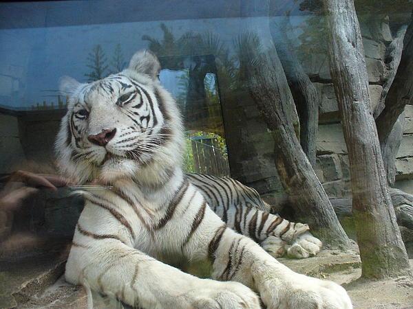 Lingfai Leung - White Tiger at Busch Garden