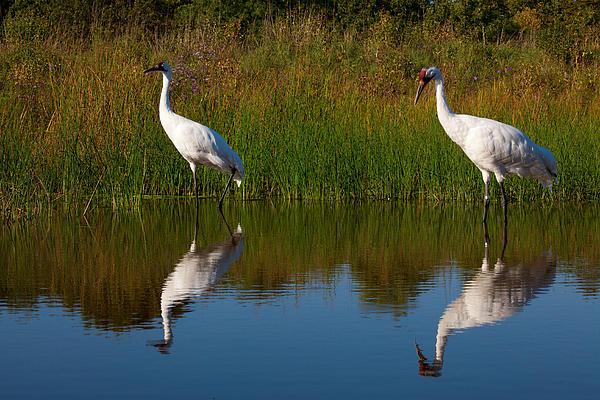 John Kees - Whooping Cranes Hunting