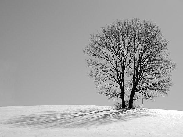 Richard Reeve - Winter - Snow Trees 2 in Mono