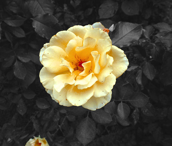 Felix Concepcion - Yellow Flower