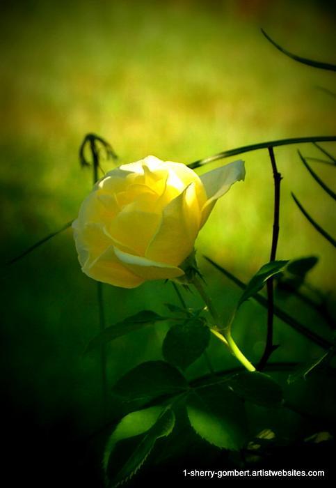 Sherry Gombert - Yellow Glowing Rose