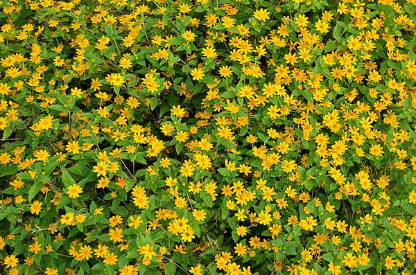 Eva Kaufman - Yellow Melampodiam Flowers