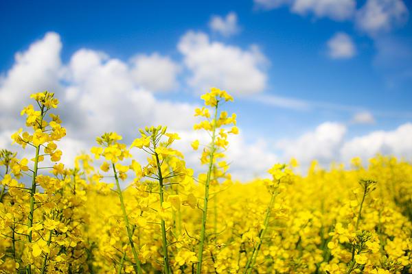 Nila Newsom - Yellow Mustard Field