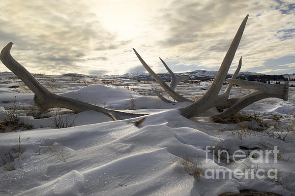 Wildlife Fine Art - Yellowstone Elk Sheds