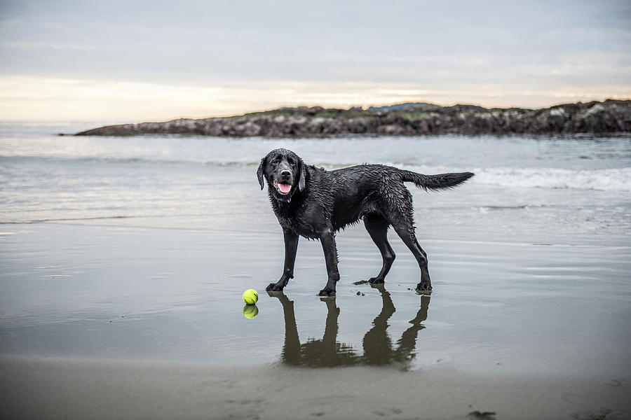Tennis Ball Photograph -   A Dog On A Beach With A Ball by Alasdair Turner