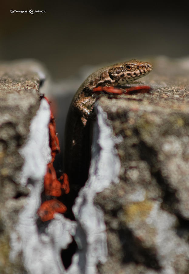 Coronavirus Photograph -  A lizard emerging from its hole by Stwayne Keubrick