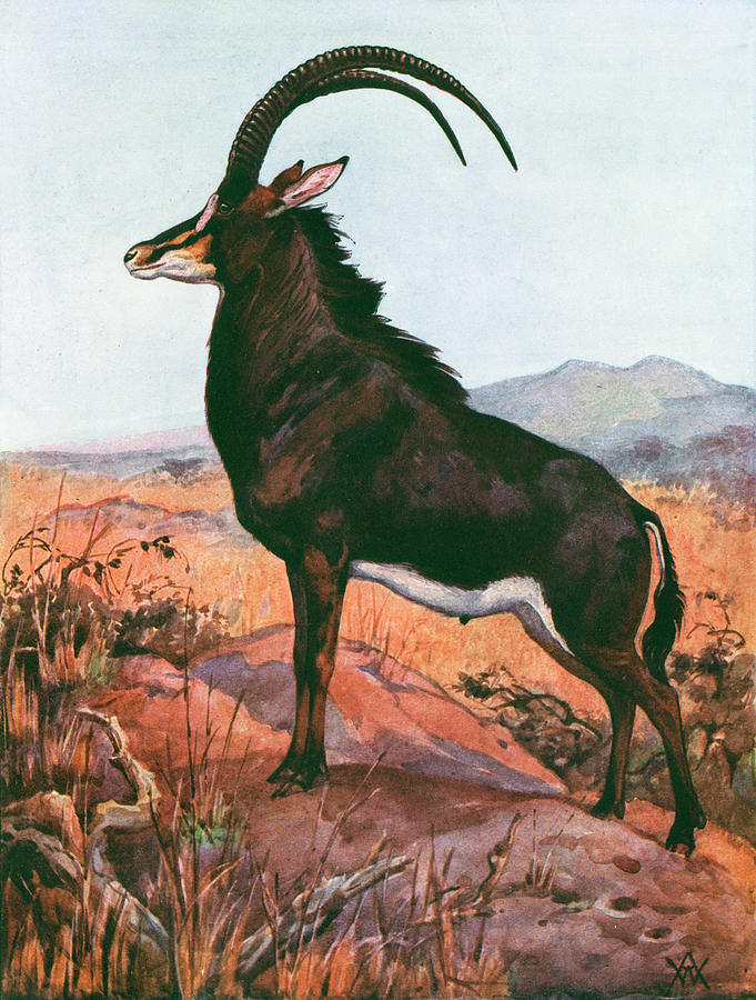 A Sable Antelope Looks Drawing by Mary Evans Picture Library
