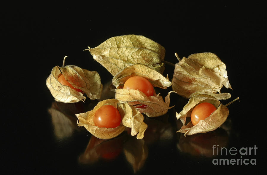 Taste Photograph -  A Taste Of Columbia Physalis Aztec Golden Goose Berry  by Inspired Nature Photography Fine Art Photography