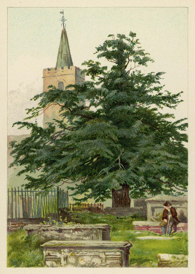 A Yew Tree Date Circa 1890 Drawing By Mary Evans Picture Library Maturity ratings combine movie and cartoon show and cartoon movies ratings into levels, with recommended audience age groups. a yew tree date circa 1890 by mary evans picture library