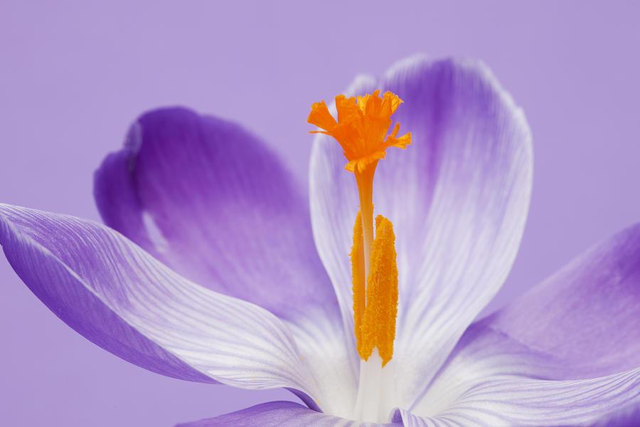 Crocus Photograph -  Abstract Purple Crocus by Gillian Dernie