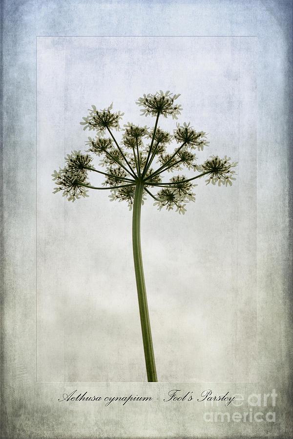 Fool's Parsley Photograph -  Aethusa Cynapium by John Edwards