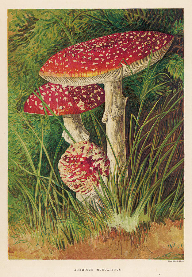 Agaricus Muscaricus (poisonous) Drawing by Mary Evans ...