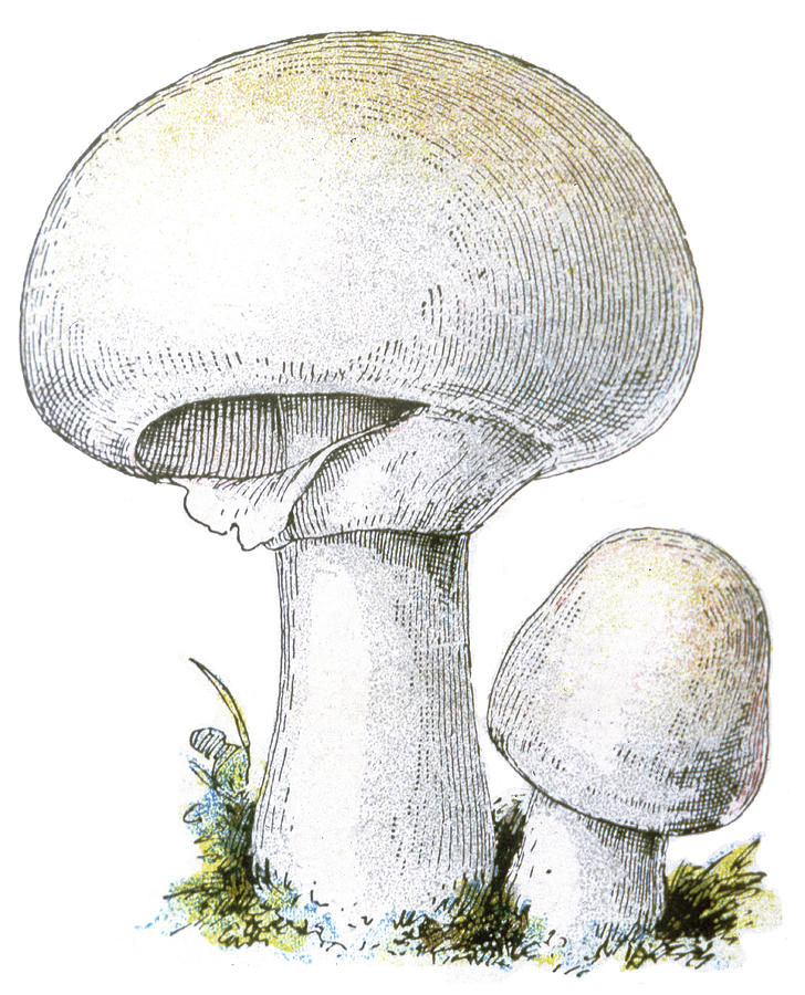 Agaricus Species Either Campestris Or Drawing by Mary ...