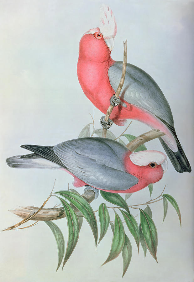 Cockatoo Painting -  Birds Of Asia by John Gould