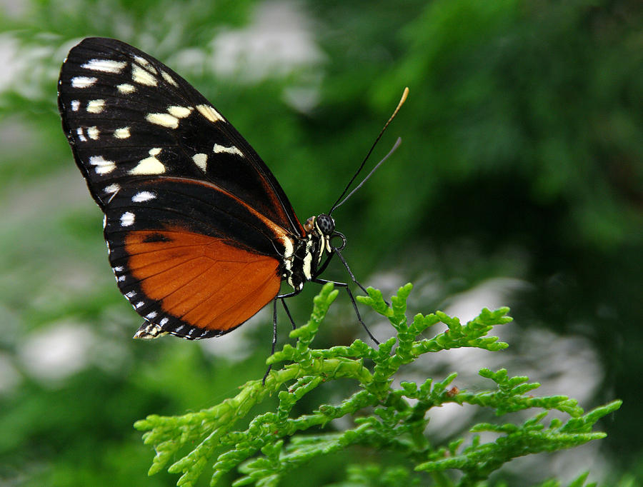 Butterfly Photograph -  Black and Orange Butteryfly by Vince  Risner