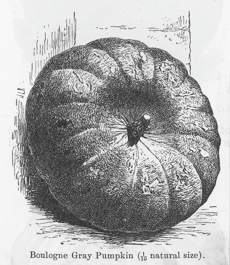 Pumpkin Drawing -  Boulogne Gray Pumpkin by Mary Evans Picture Library