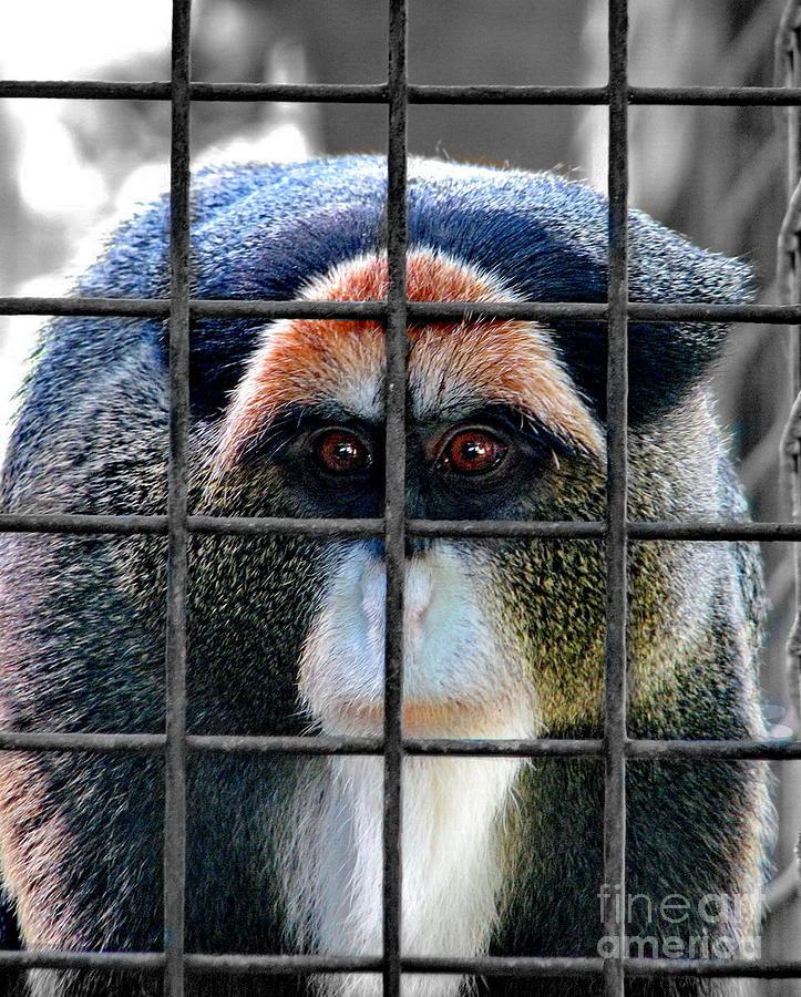 Debrazza Monkey Photograph -  Brazza Inmate by Alexey Dubrovin