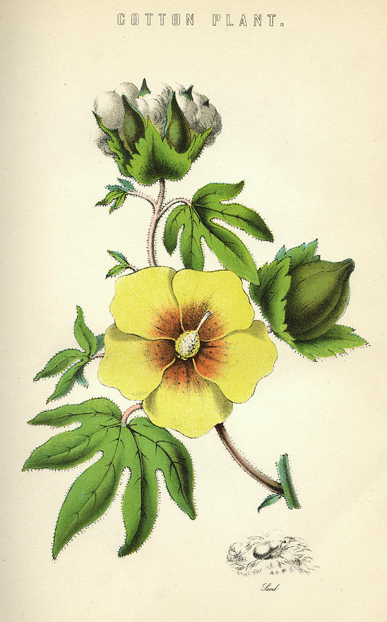 Cotton Plant Showing Flower Seed Drawing By Mary Evans Picture