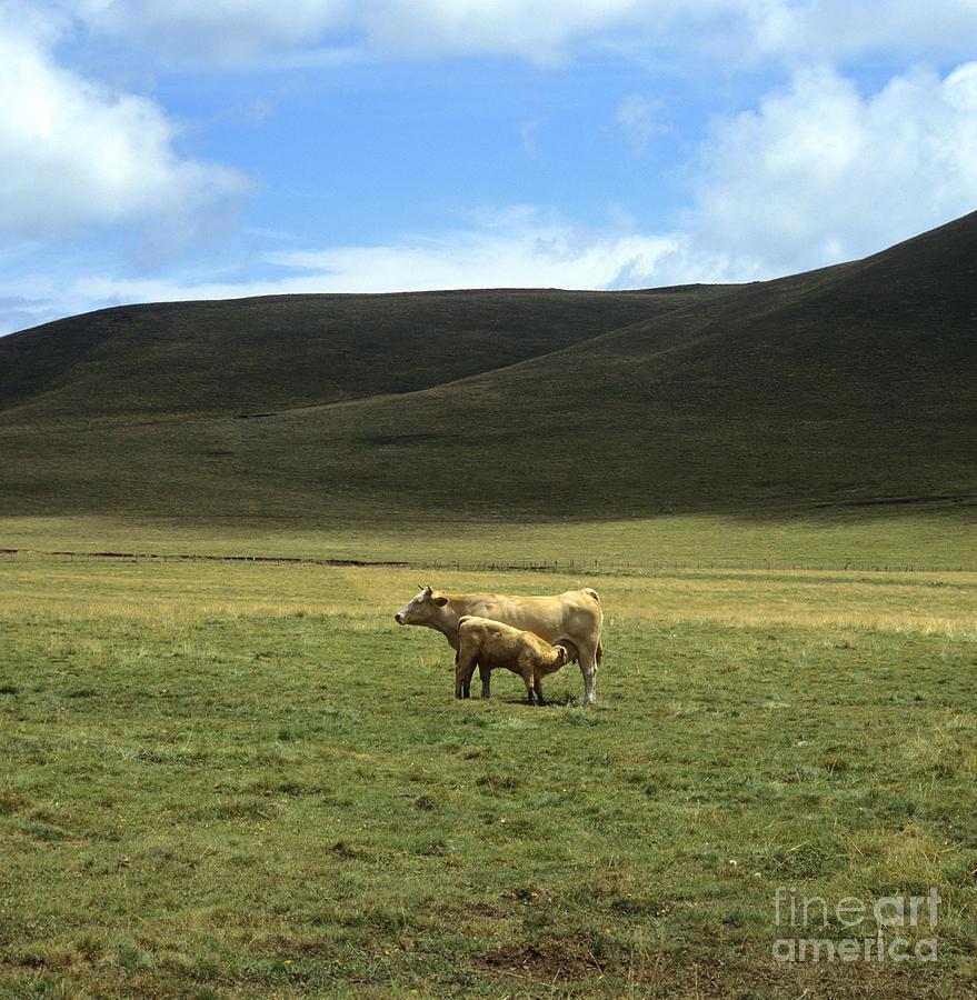 Cow And Calf. Aubrac . France. Photograph by Bernard Jaubert