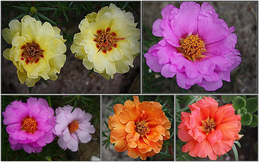 Roses Photograph -  Desert Roses Delight by Dora Sofia Caputo Photographic Design and Fine Art