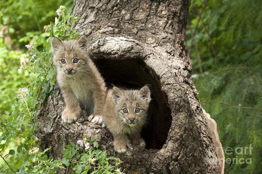 Lynx Photograph -  Double Trouble by Sandra Bronstein