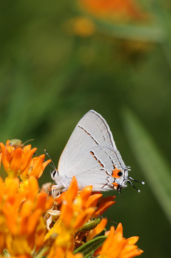 Butterfly Photograph -  Gray Hairstreak On Butterfly Weed by Dick Todd