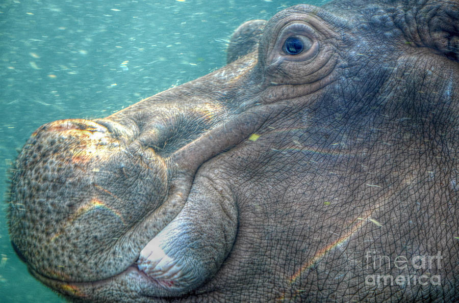 Hippopotamus Smiling Underwater Photograph By Peggy Franz