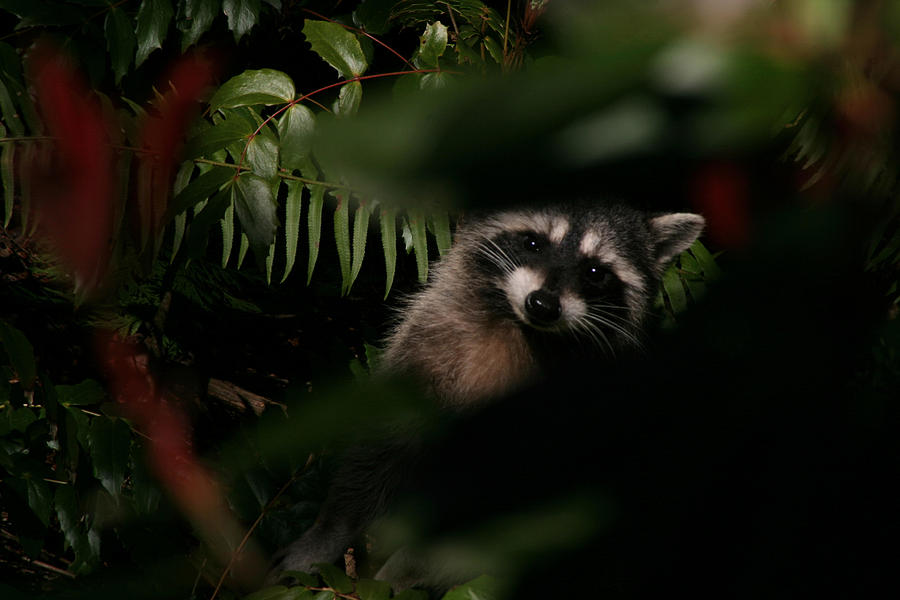 Animals Photograph -  I Can See You  Mr. Raccoon by Kym Backland