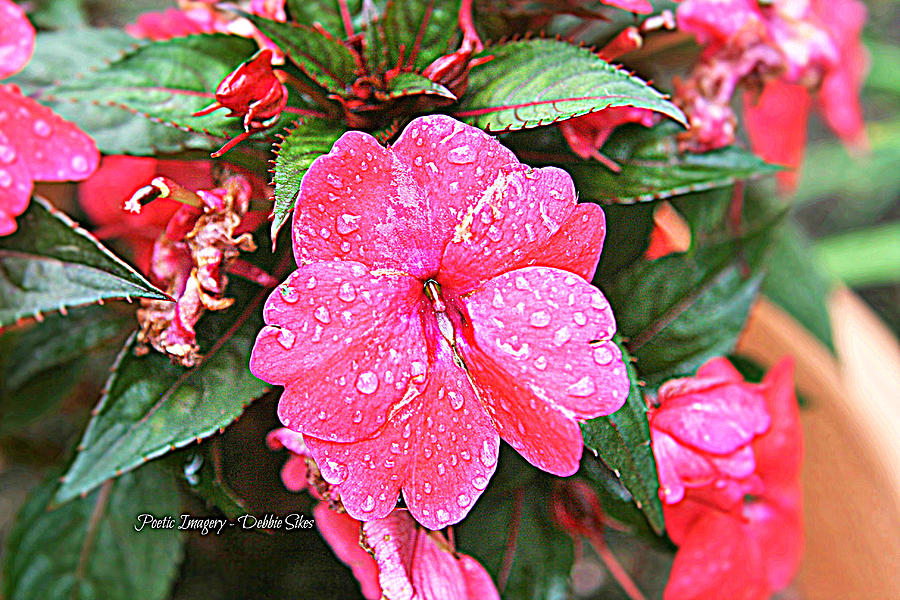 Flowers Photograph -  Impatiens by Debbie Sikes