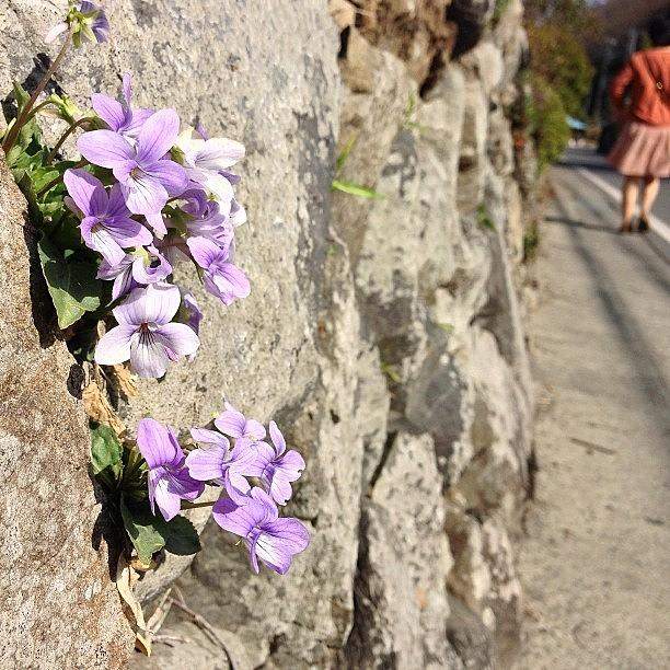 Japan Photograph - スミレかな? #japan #violet by Tokyo Sanpopo
