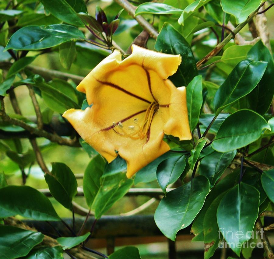 Large Yellow Trumpet Flower Ii Photograph By Craig Wood