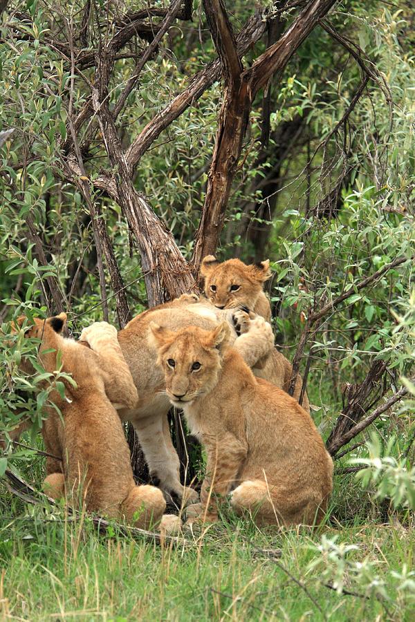 Africa Photograph -  Masai Mara Lion Cubs by Aidan Moran