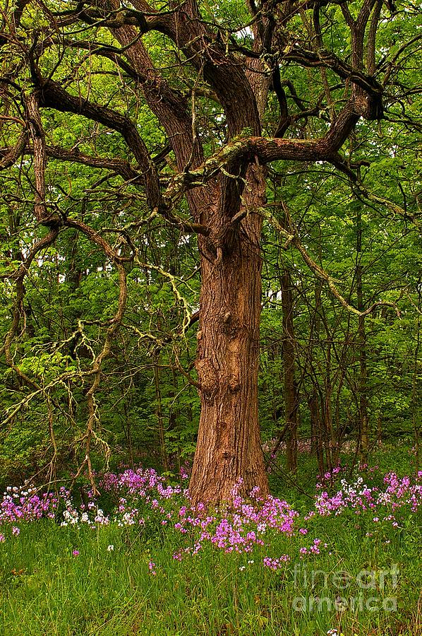 Oak Photograph -  Oak Tree And Dames Rocket by Randy Pollard