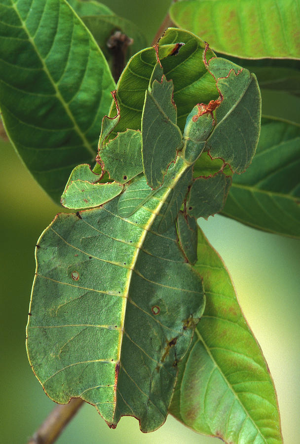 leaf insect camouflage - photo #12