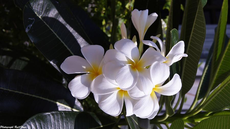 Plumeria  Photograph by Gornganogphatchara Kalapun