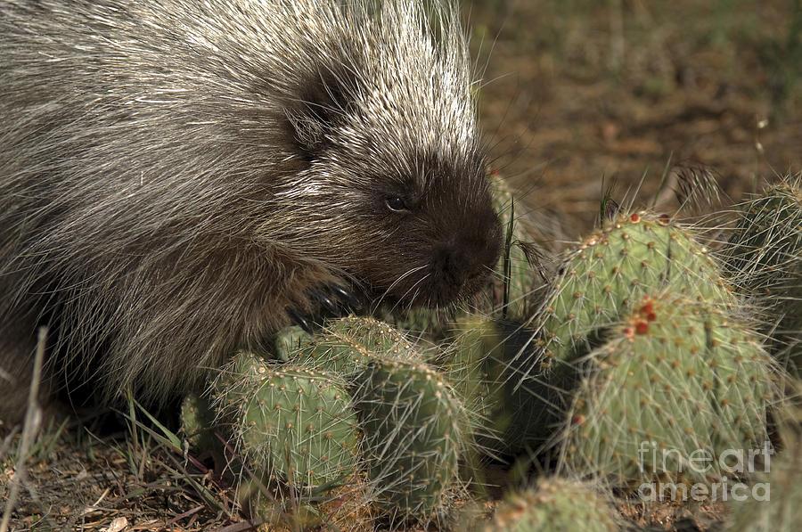 Porcupine-animals-image-1 Photograph