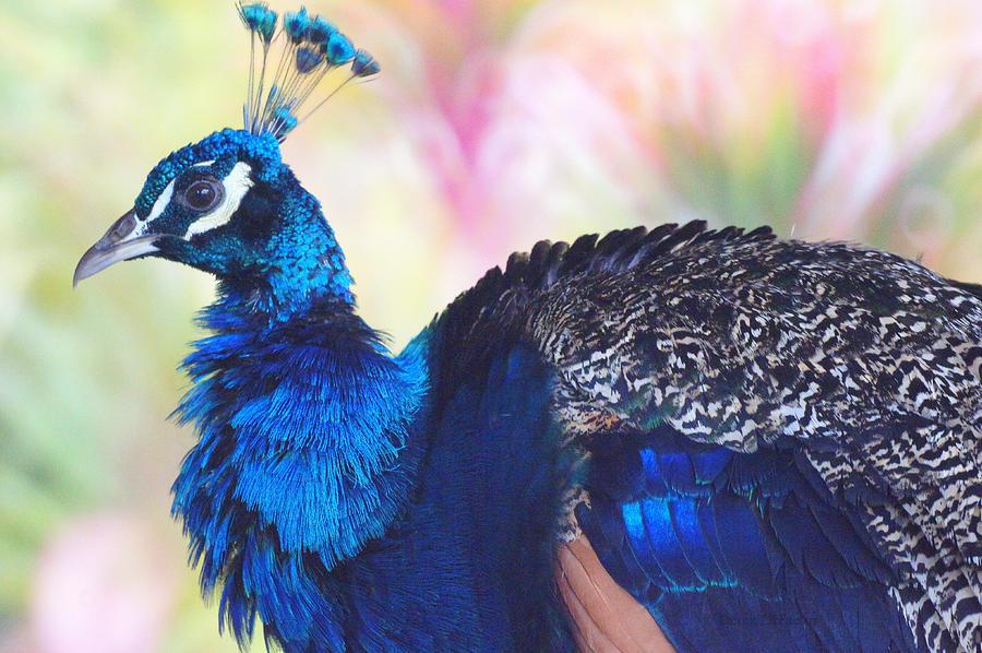 Peacock Photograph -  Prime Peacock by DerekTXFactor Creative