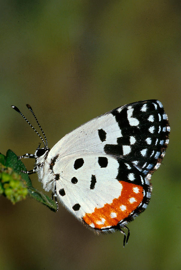 No People; Vertical; Outdoors; Day; Full Length; One Animal; Wildlife; Red Pierrot Butterfly Photograph -  Red Pierrot Butterfly by Anonymous