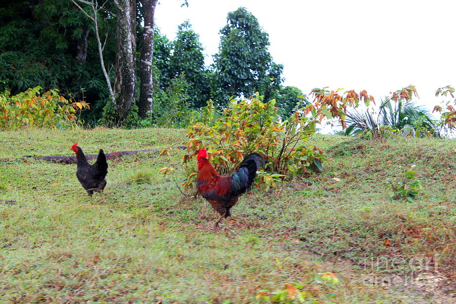 Rooster and Chicken in Jamaica by Debbie Levene