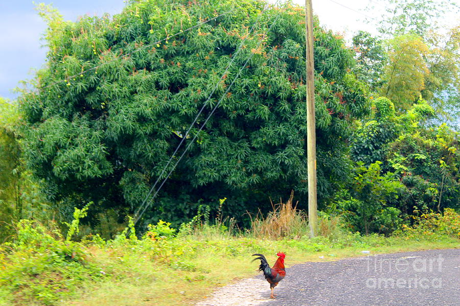 Rooster in Jamaica by Debbie Levene