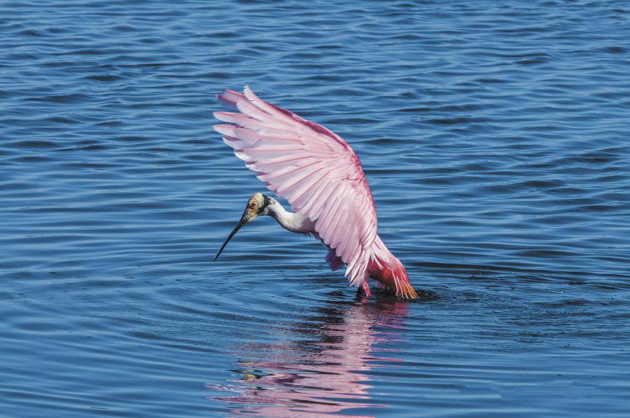 Wildlife Photograph -  Rosette Spoonbill by William Bitman