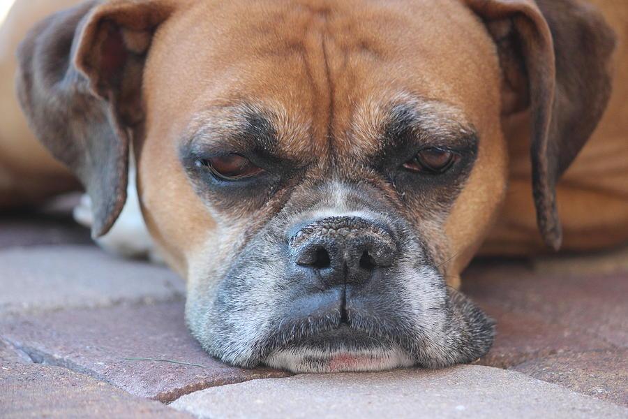 Boxer Photograph -  Sad Boxer by John Greco