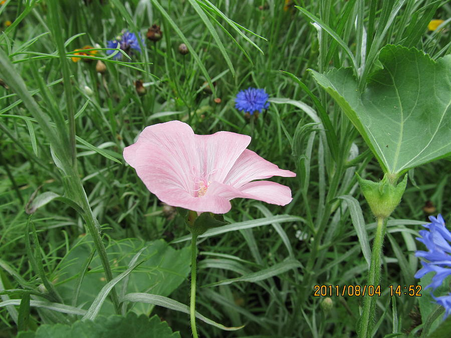 Flowers Photograph -  Softly Single New Pink Bloom by Tina M Wenger