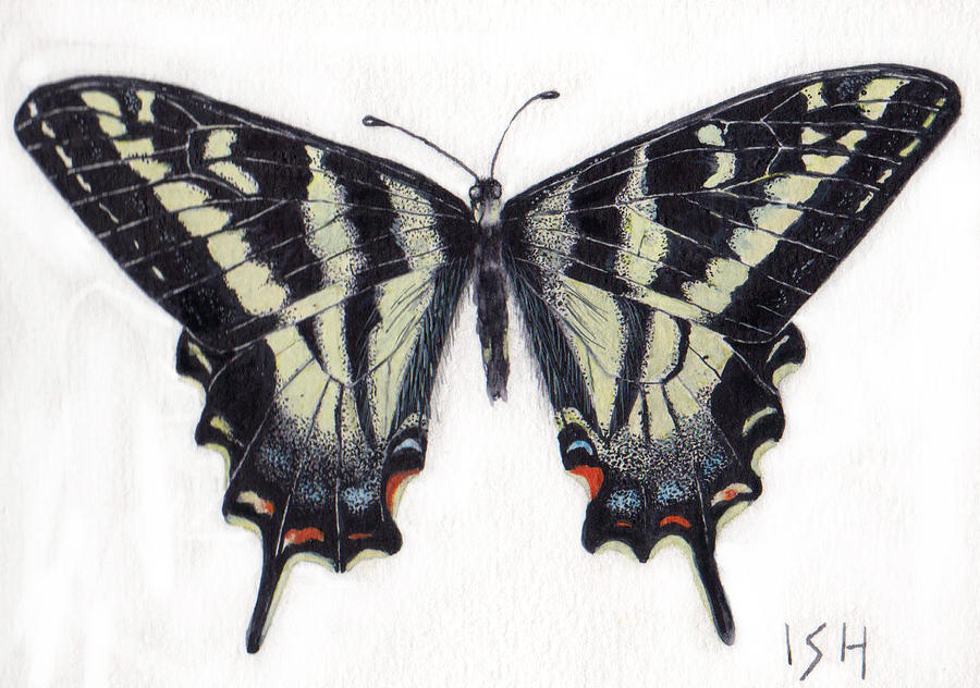 Swallowtail Butterfly Painting -  Swallowtail Butterfly  by Inger Hutton