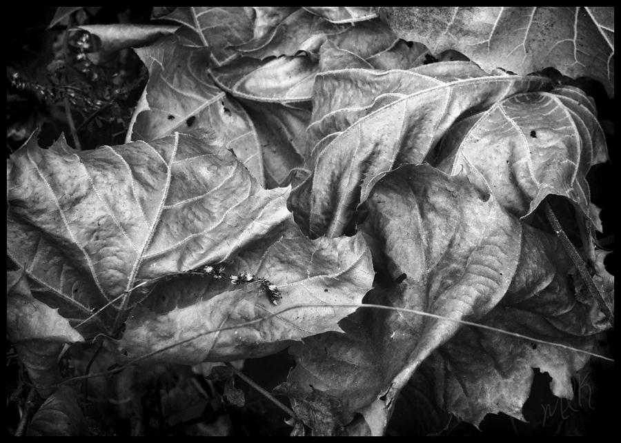 Sycamore Photograph -  Sycamore Leaves In Autumn by Louise Kumpf