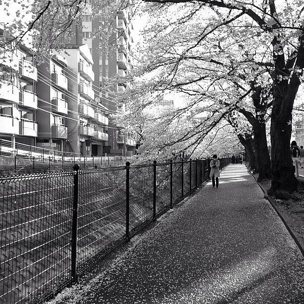 Sakura Photograph - そろそろ散るな〜 #tokyo #sakura by Tokyo Sanpopo