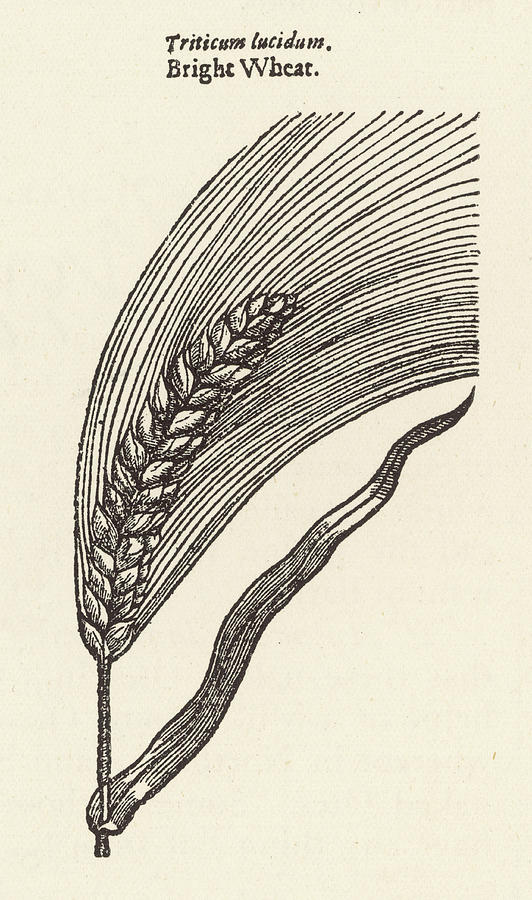 Plants Drawing -  Triticum Lucidum  Bright Wheat by Mary Evans Picture Library