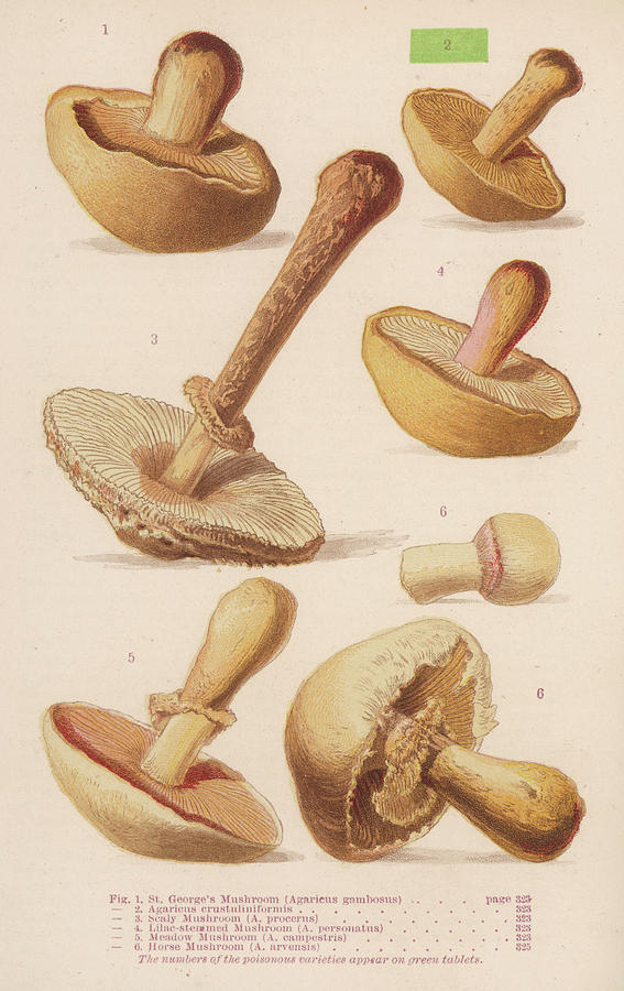 Various Mushrooms Of The Agaricus Drawing by Mary Evans ...